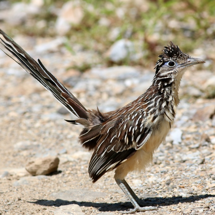 Lesser Roadrunner by Eric Antonio Martinez