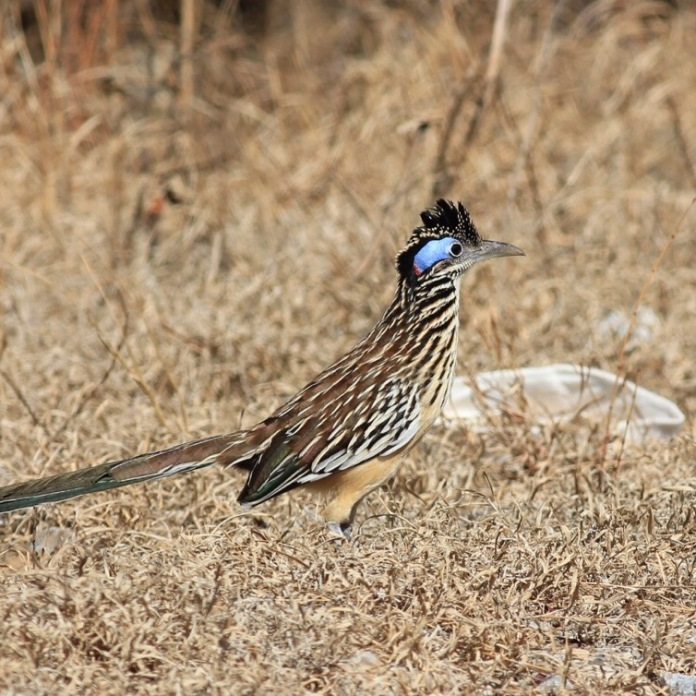 Lesser-Roadrunner by Eric Antonio Martinez