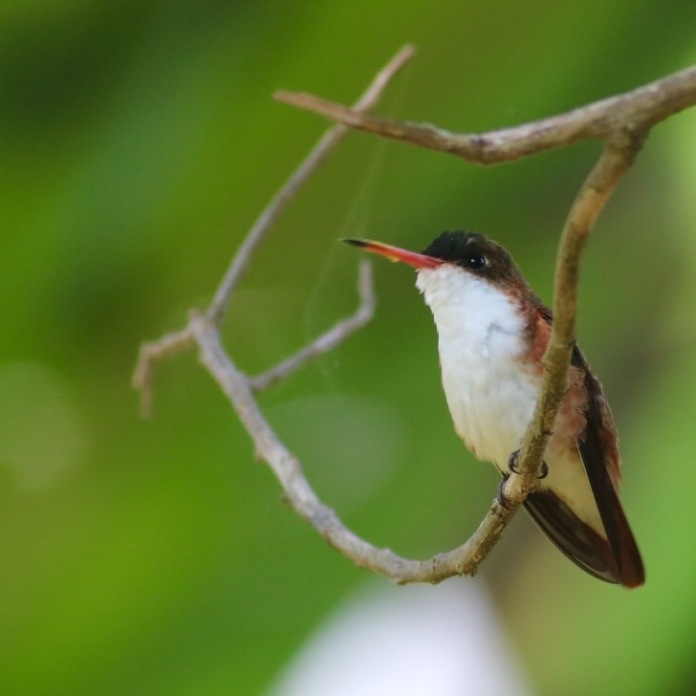 Cinnamon-sided Hummingbird by Eric Antonio Martinez
