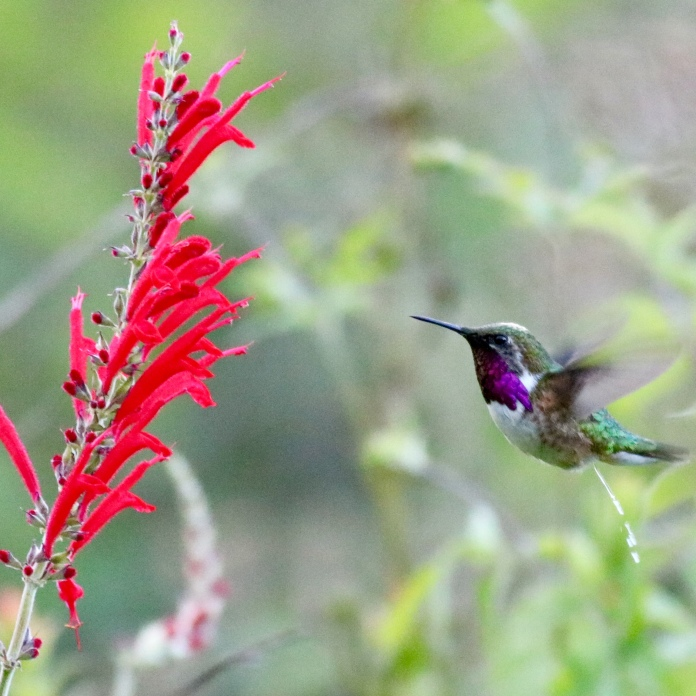 Bumblebee Hummingbird by Eric Antonio Martinez