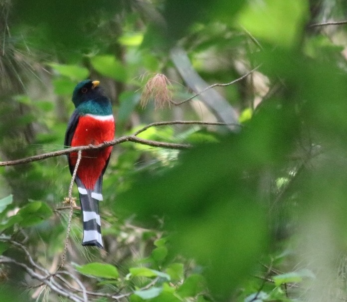 Mountain Trogon by Eric Antonio Martinez
