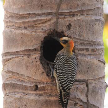 Golden-cheeked woodpecker by Eric Antonio Martinez