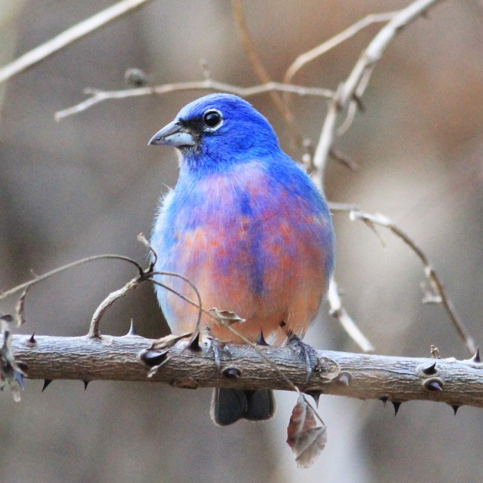 Rose Bellied (Rosita's) Bunting